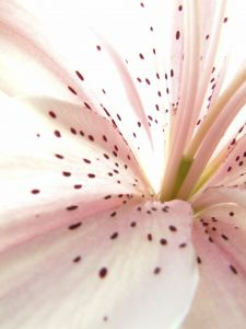 pink-lily-2-150919-m