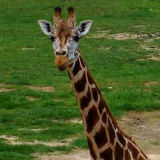 Giraffes Are Gorgeous: Graceful, Beautiful Animals