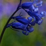 Cover photo - Bluebell Heaven taken near Dagnall, England by Nana B Agyei / Flickr Creative Commons