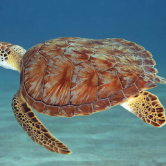 A Sea Turtle's Soliloquy