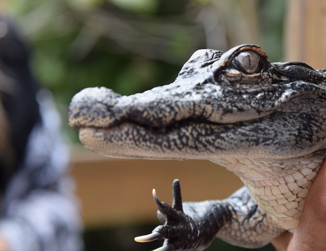 A young alligator in a rescue sanctuary, Miccosukee Tribal Village.