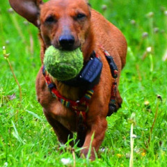 Gifts for Dog Lovers:  The iFetch