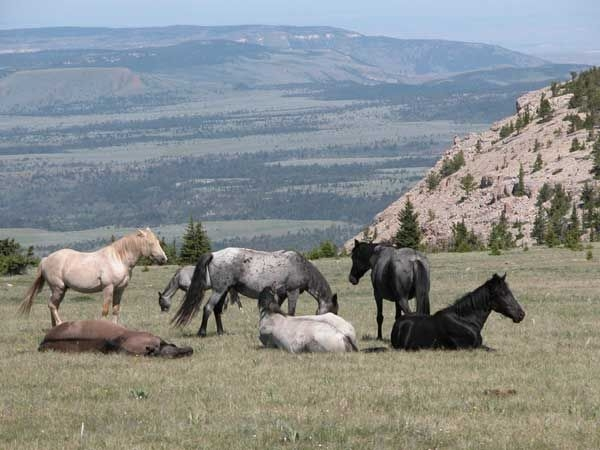 Pryor Mountain Wild Horses, Montana